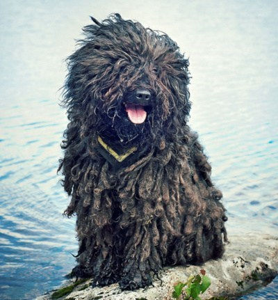 poll dogs puli goggie ob teh week results winner - 6952370432