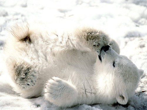 baby snow cub rolling polar bears squee spree - 6952399616