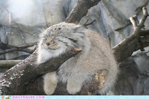 sun bathing climbing tree squee sleeping pallas cat - 6952574464