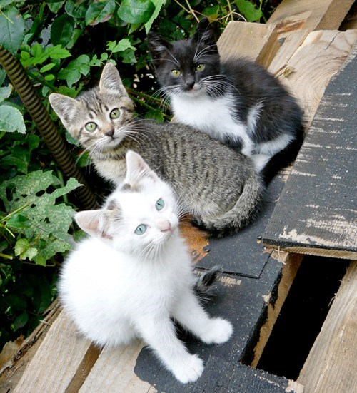 cyoot kitteh of teh day line three Cats - 6952739584
