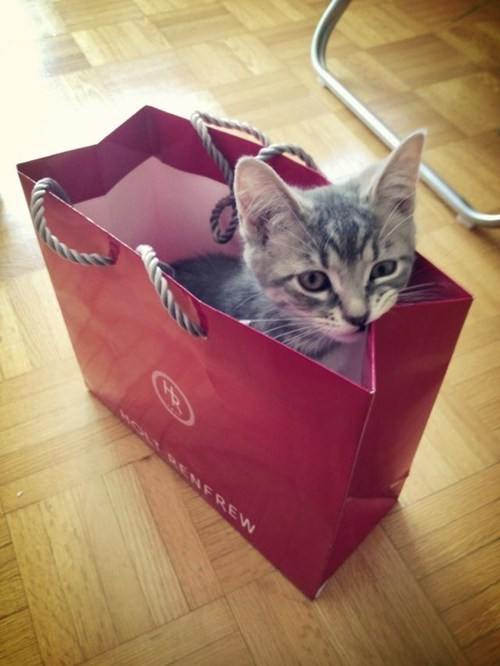 bad,cyoot kitteh of teh day,shopping,nom,chew,Cats