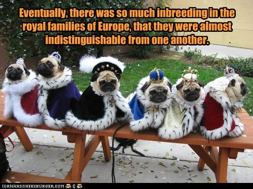 dogs inbred royalty pugs