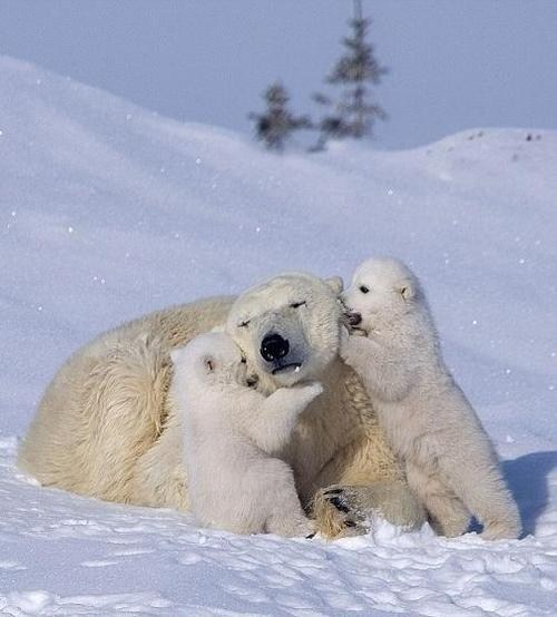 Babies,snow,polar bears,mommy,cubs,squee spree,squee