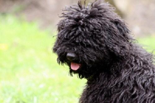 dogs puli goggie ob teh week hungarian - 6956143360