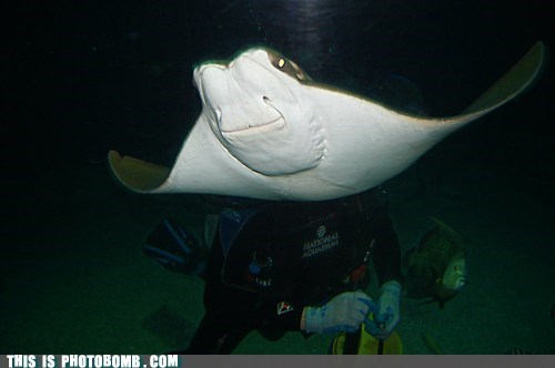 face diver sting ray - 6958019584