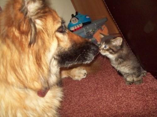 dogs boop kitten nose goggies r owr friends Cats - 6958453760