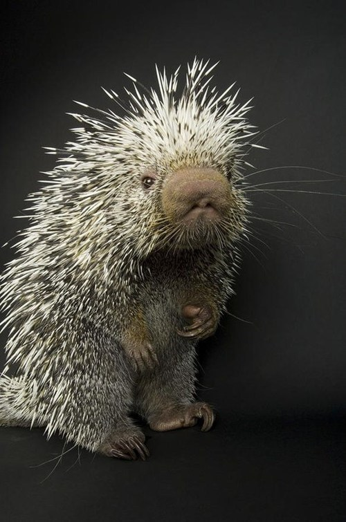 porcupine boop nose spines squee spree squee - 6961666560