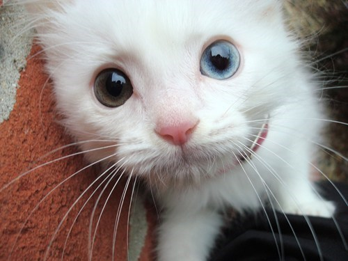 cyoot kitteh of teh day eyes heterochromia Cats - 6961699328