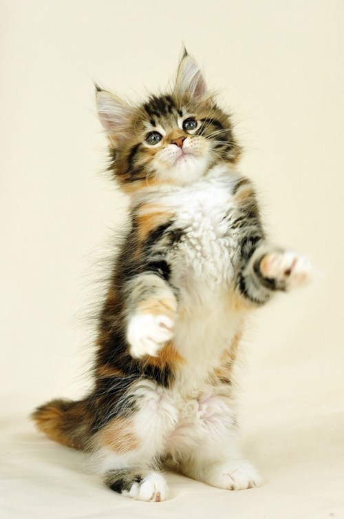cyoot kitteh of teh day Cats - 6961710592