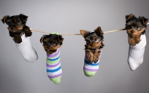 dogs socks puppies yorkies cyoot puppy ob teh day yorkshire terrier - 6962087680