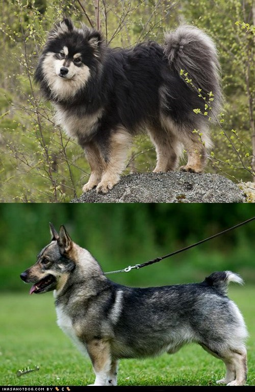 poll dogs versus Swedish Vallhund goggie ob teh week face off finnish lapphund