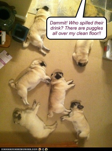dogs,lazy,lying around,pugs,messy,mess