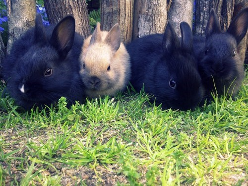 Bunday diversity tiny rabbit bunny squee - 6965144832