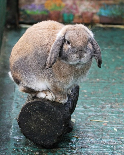 Bunday lop ears log rabbit bunny squee