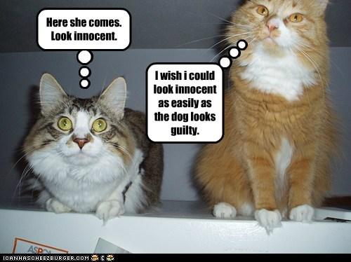 cat innocent mischief funny guilty - 6967468544
