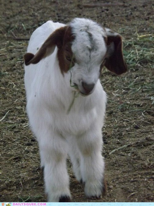 reader squee,goats,noms,squee