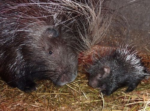 poll Babies porcupine results mommy winner squee spree squee