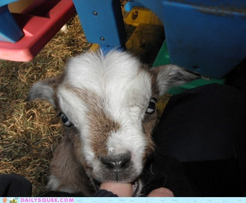 nibble baby reader squee kids goats fainting goat squee - 6975179264