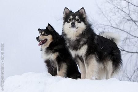 dogs,reindeer,snow,goggie ob teh week,sami,herding dog,finnish lapphund
