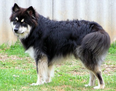ancient old dogs goggie ob teh week herding dog finnish lapphund - 6975538688