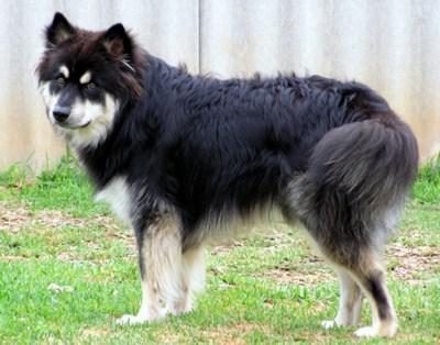old goggie ob teh week herding dog finnish lapphund - 6975538688