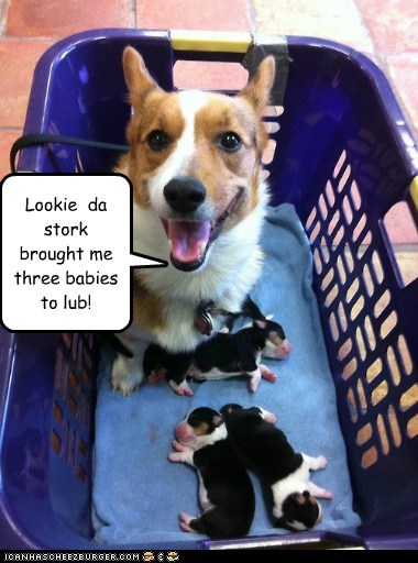 dogs,stork,puppies,corgi,mommy,newborns