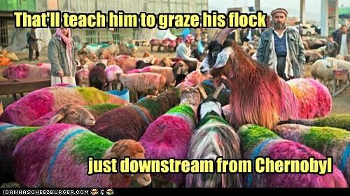teach downstream grazing chernobyl sheep flock wool - 6975794432