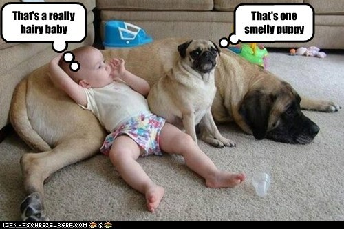 confusion,dogs,baby,pugs,what are you,mastiffs