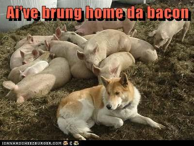 dogs guard dog farm pig what breed bacon