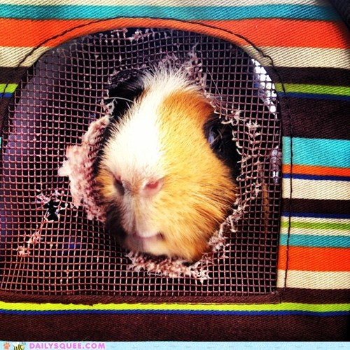 reader squee,naughty,chewed,pets,hole,guinea pig,carrying case,squee
