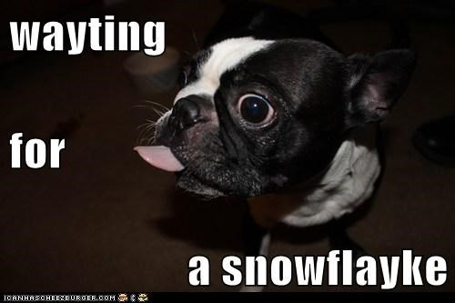 dogs,snow flakes,snow,waiting,tongue,boston terrier
