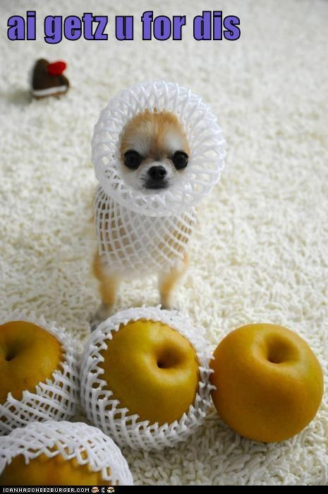 dogs,i will get you,tiny,pear,chihuahua,apple,fruit,vengence
