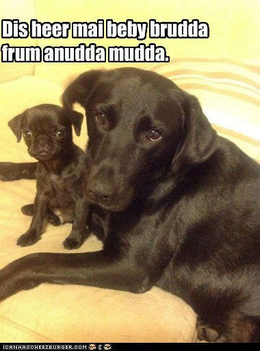 dogs,labrador,pug,brother,puppies,look alike,mini me