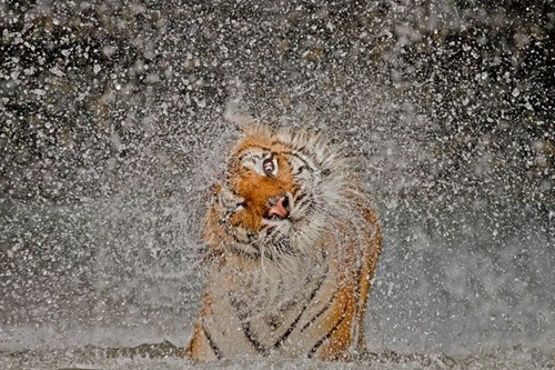 nature destination WIN! g rated tiger animals - 6977397760