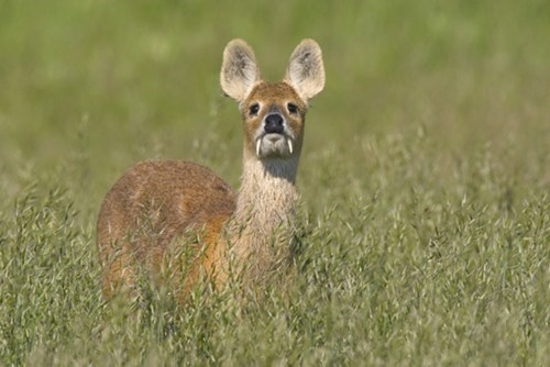 China,creepicute,deer,fangs,water deer,squee