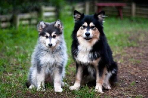 dogs,goggie ob teh week,Fluffy,Finland,finnish lapphund