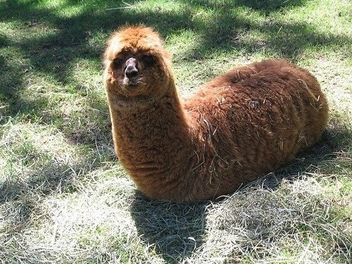 llama whatsit Fluffy bug whatsit wednesday squee caterpillar - 6981342464