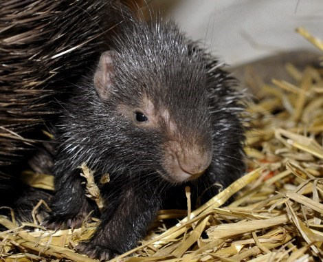 Babies porcupine mommy spines prickly squee spree squee - 6981422080