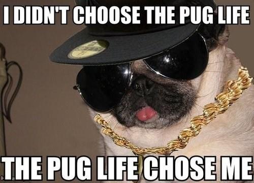 dogs,pug life,thug life