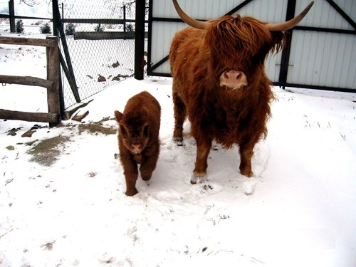 baby,cow,scotland,highland cow,farm,mom