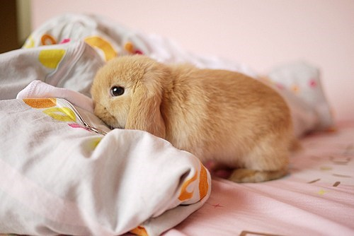 Bunday lop bed mine rabbit bunny squee
