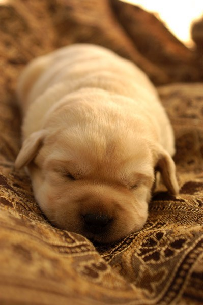 dogs puppy tiny rolly polly golden retriever cyoot puppy ob teh day