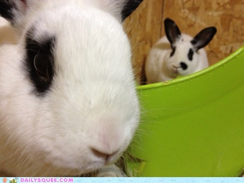 Bunday reader squee spotted siblings rabbit bunny squee - 6985642496