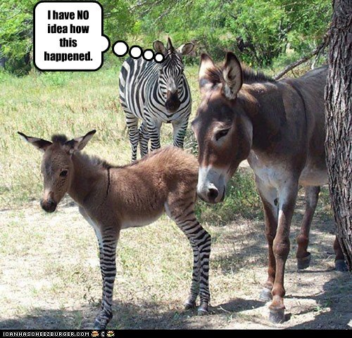 baby,i have no idea,mix,zebras,legs,donkeys