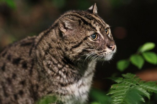 Squee Spree: Fishing Cat