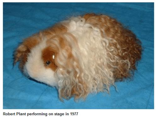 hair led zeppelin Music robert plant rock guinea pig - 6991390976