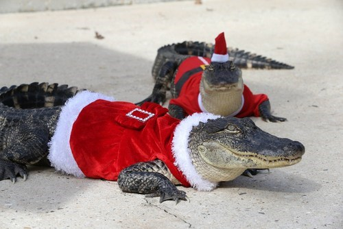crocodiles alligators santa
