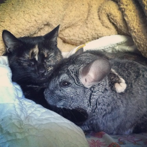 Interspecies Love,Fluffy,cuddles,Cats,squee,chinchilla