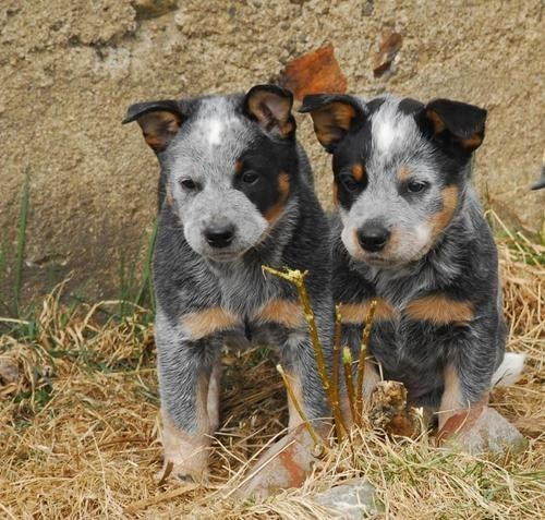 dogs puppies australian cattle dogs cyoot puppy ob teh day - 6992041984