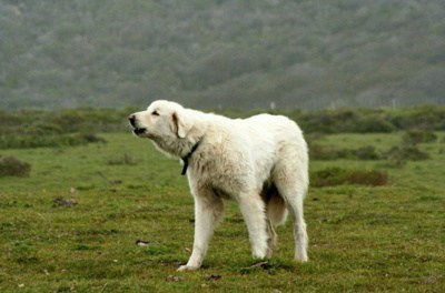 livestock,dogs,goggie ob teh week,guard dog,akbash dog,Turkey
